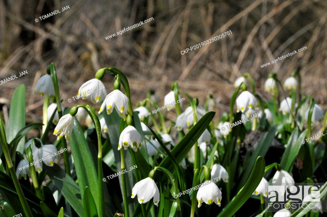 Stock Photo: Thousands of Spring snowflakes (Leucojum vernum) bloom near Racice-Pistovice Village, Czech Republic on March 24, 2019. (CTK Photo/Jan Tomandl).