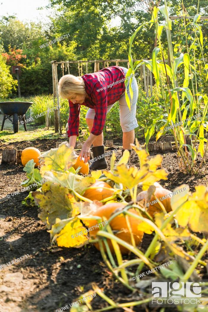 Stock Photo: Senior woman in garden harvesting pumpkins.