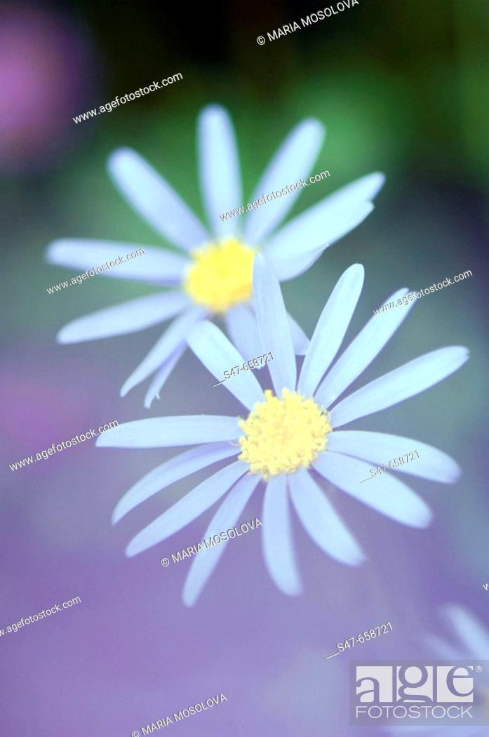 Stock Photo: Two Swan River Daisies. Brachycome iberidifolia. May 2007, Maryland, USA.