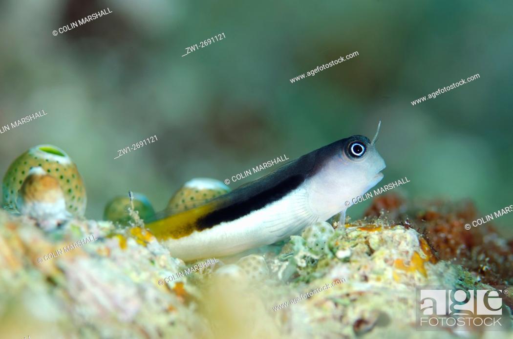 Stock Photo: Bicolor Blenny (Escenius bicolor), Tank Rock dive site, Fiabacet Island, Misool, Raja Ampat (4 Kings), West Papua, Indonesia.