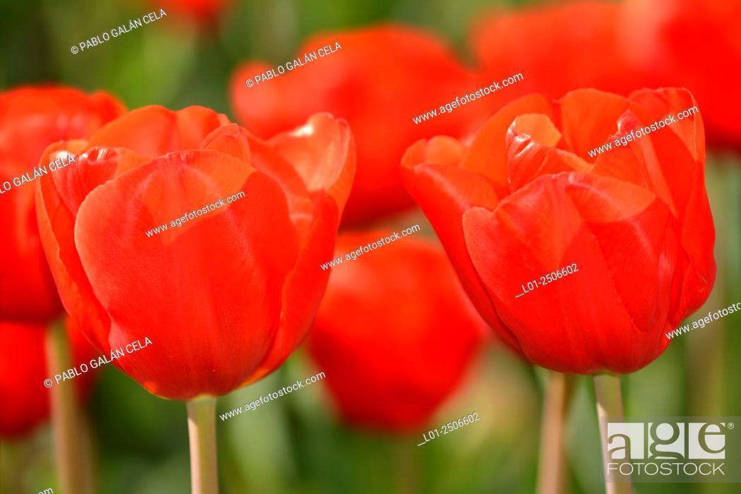 Imagen: Tulipa 'escape'.