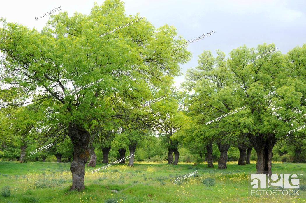 Stock Photo: Narrow-leafed ash (Fraxinus angustifolia) is a deciduous tree native to southern Europe, northwest Africa and southwest Asia.