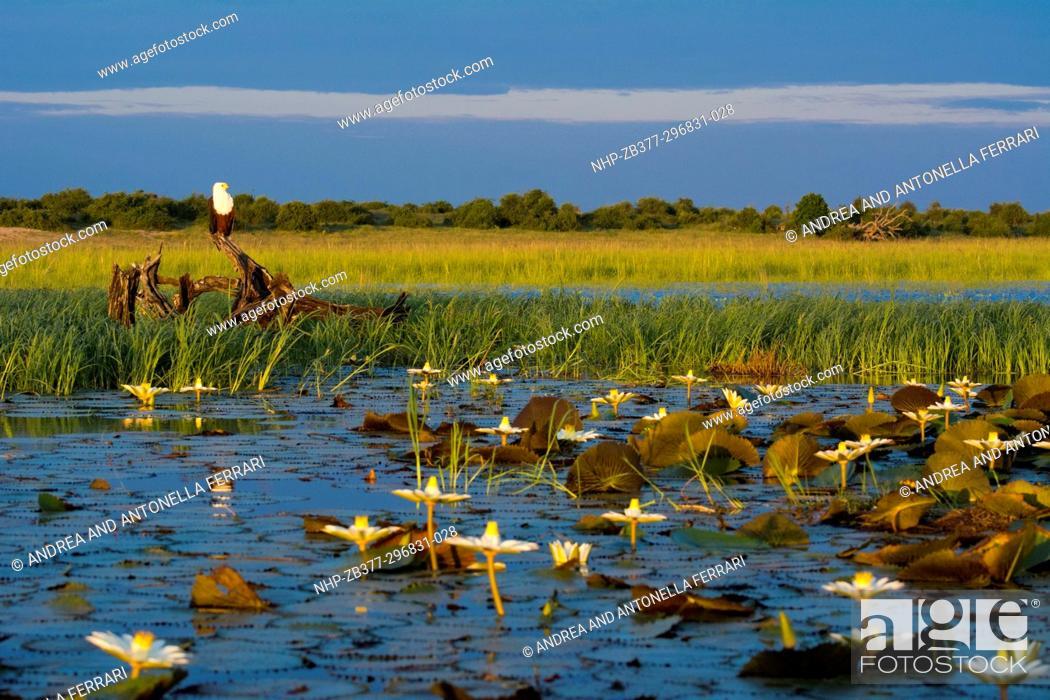 Stock Photo: African fish eagle Haliaeetus vocifer, Chobe river, Chobe National Park, Botswana.