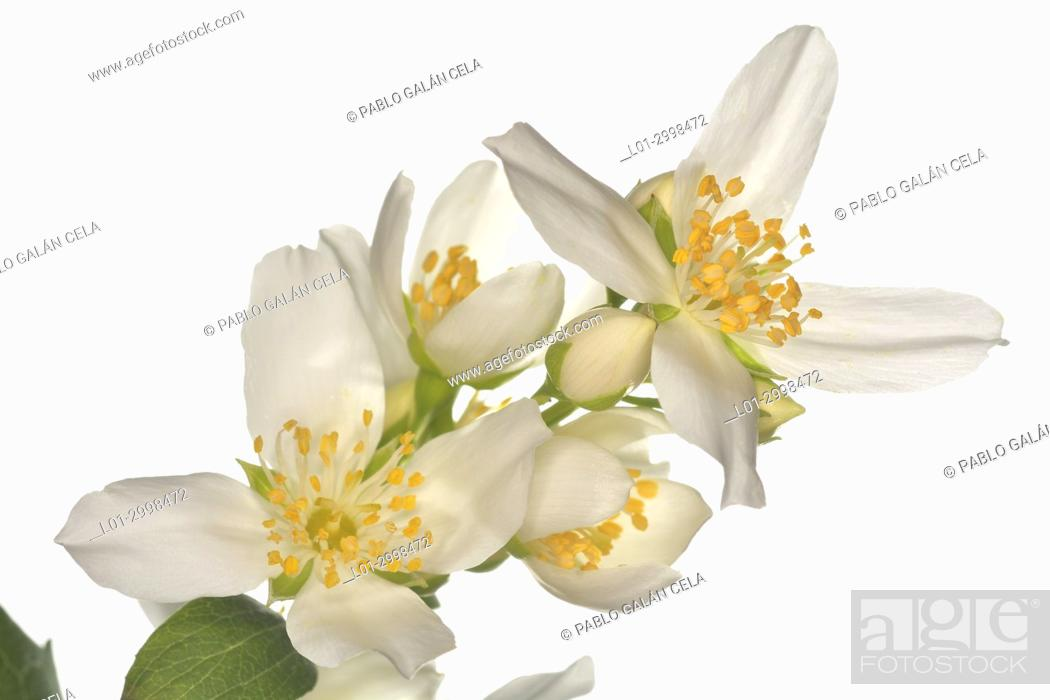 Stock Photo: Philadelphus coronarius, celinda, on white.