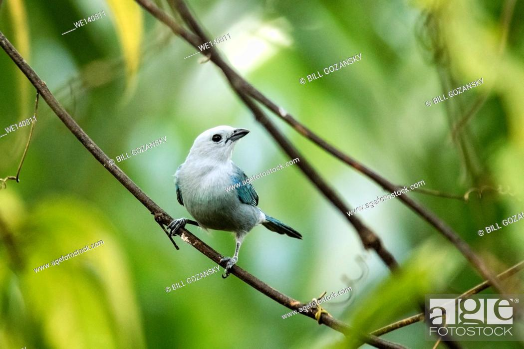 Stock Photo: Blue-Gray Tanager - La Laguna del Lagarto Lodge, Boca Tapada, San Carlos, Costa Rica.
