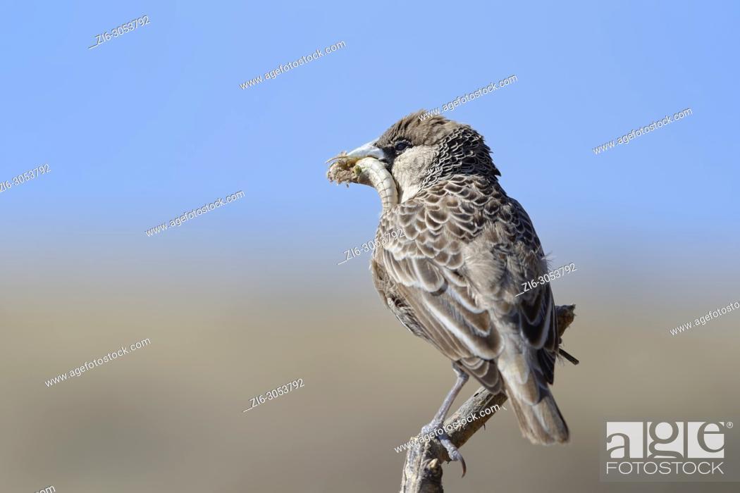 Stock Photo: Sociable weaver (Philetairus socius geminus) sitting on a perch with prey in its beak, feeding, Etosha National Park, Namibia, Africa.