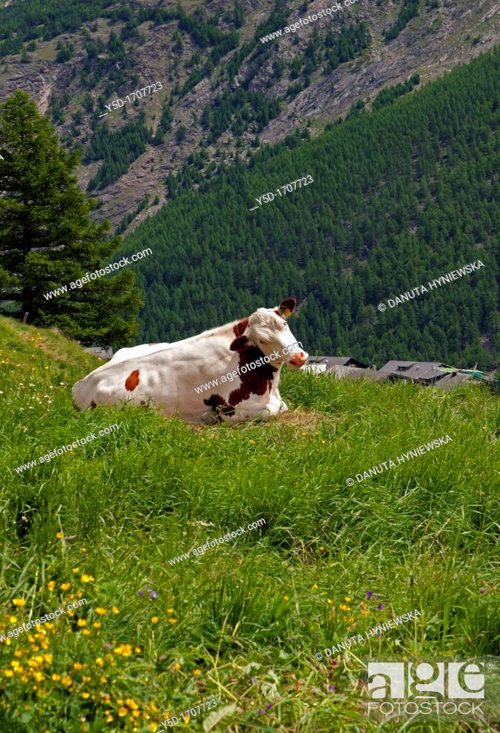 One Of Symbols Of Switzerland A Cow In Swiss Alps Pasture In