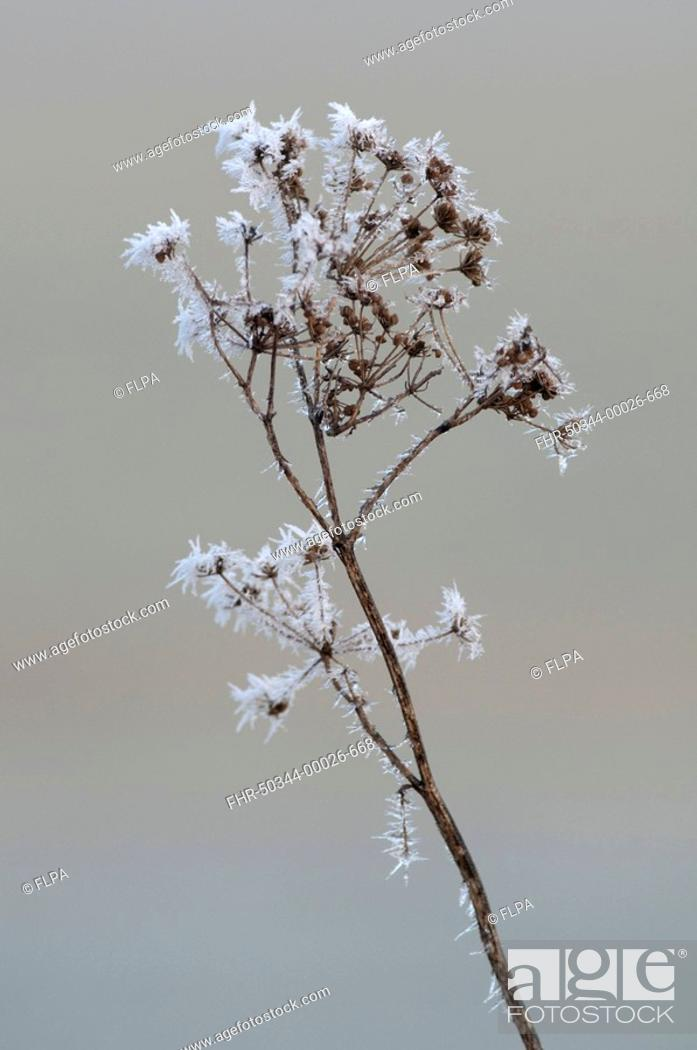 Stock Photo: Cow Parsley Anthriscus sylvestris covered with hoar frost, North Kent Marshes, Kent, England, winter.