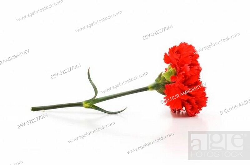 Stock Photo: Red carnations isolated on the white background.