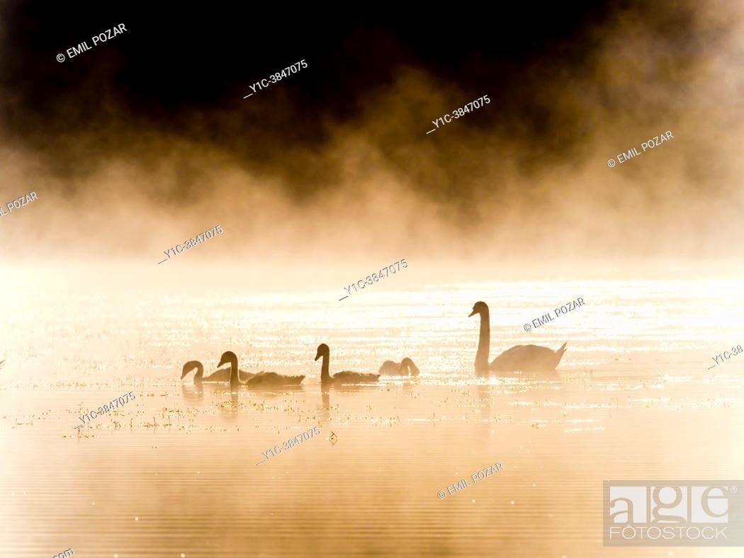 Stock Photo: Swans family in early morning, Mrzla vodica lake in Croatia.