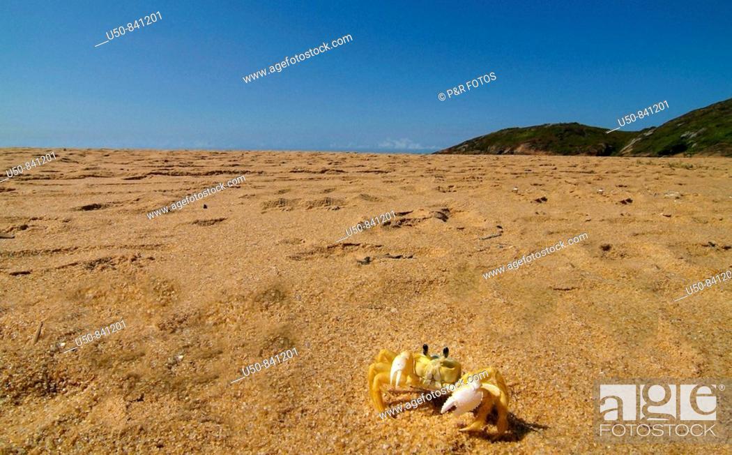 Stock Photo: Beach crab, caranguejo Maria-farinha Ocypode sp : Ocypodidae , Praia do Jucu, Vila Velha, Espiríto Santo, Brazil.