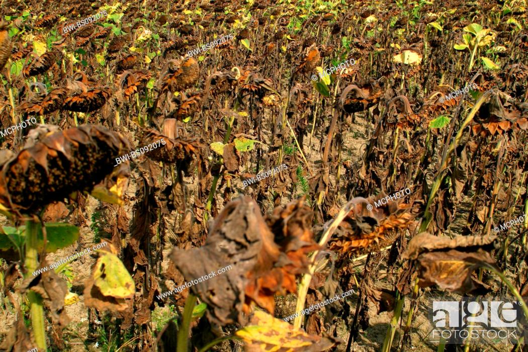 Stock Photo: common sunflower (Helianthus annuus), withered sunflower field.