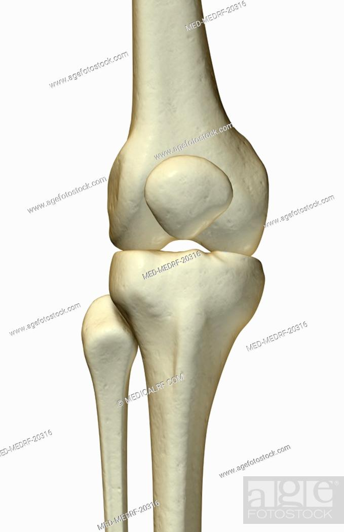 Stock Photo: The bones of the knee.