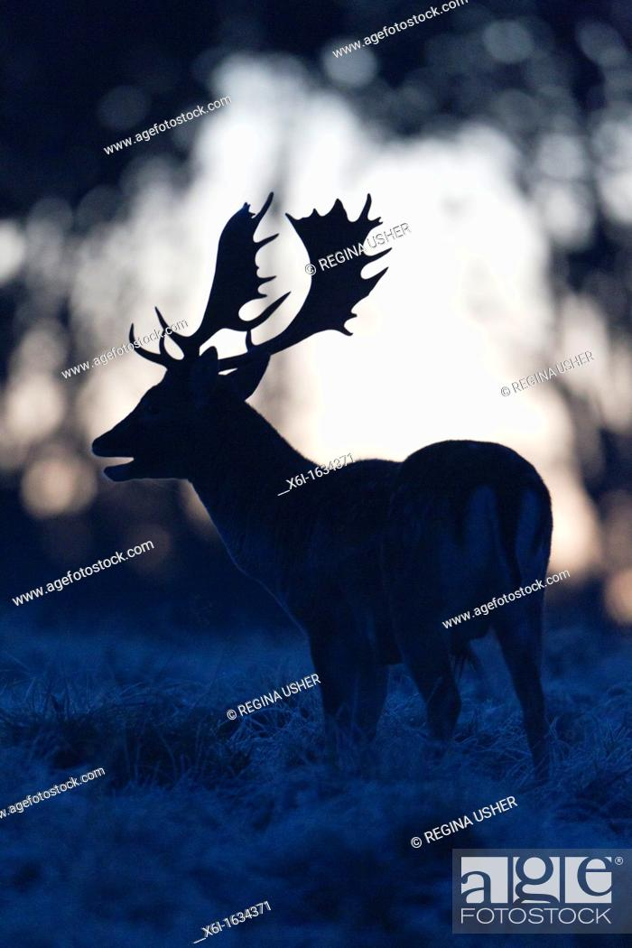 Stock Photo: Fallow Deer Dama dama, Buck Roaring at Dawn during the Rut, , Royal Deer Park, Klampenborg, Copenhagen, Sjaelland, Denmark.
