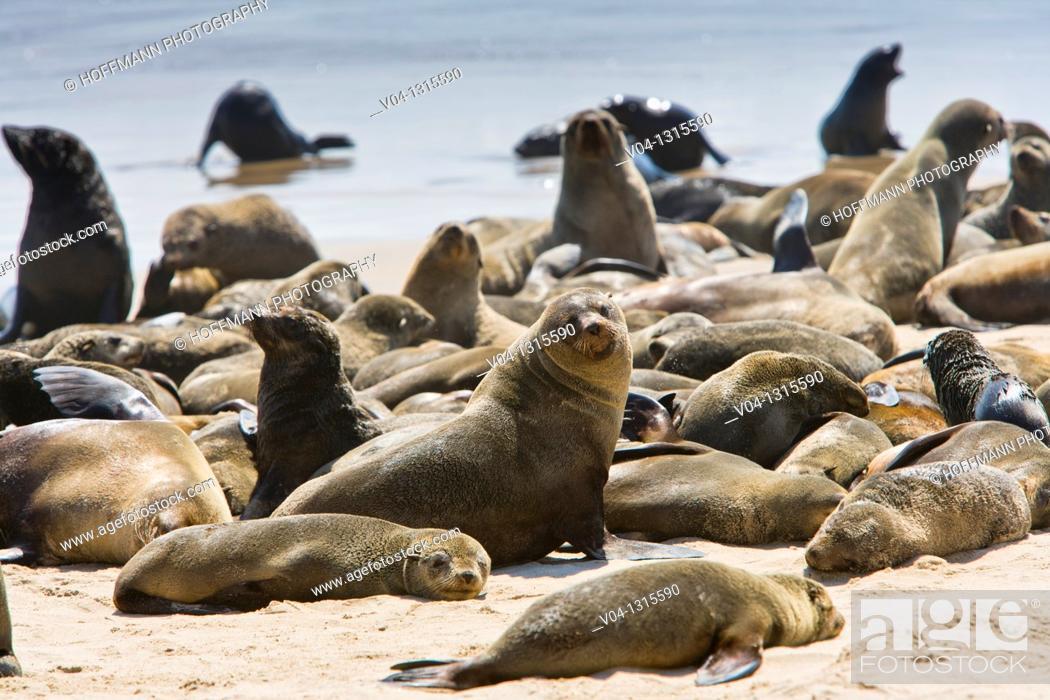 Stock Photo: Colony of cape fur seals (Arctocephalus pusillus) on the shore in the Skeleton Coast Park, Namibia, Africa.