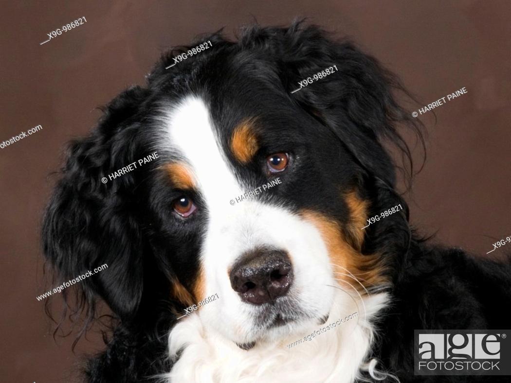Stock Photo: canine.