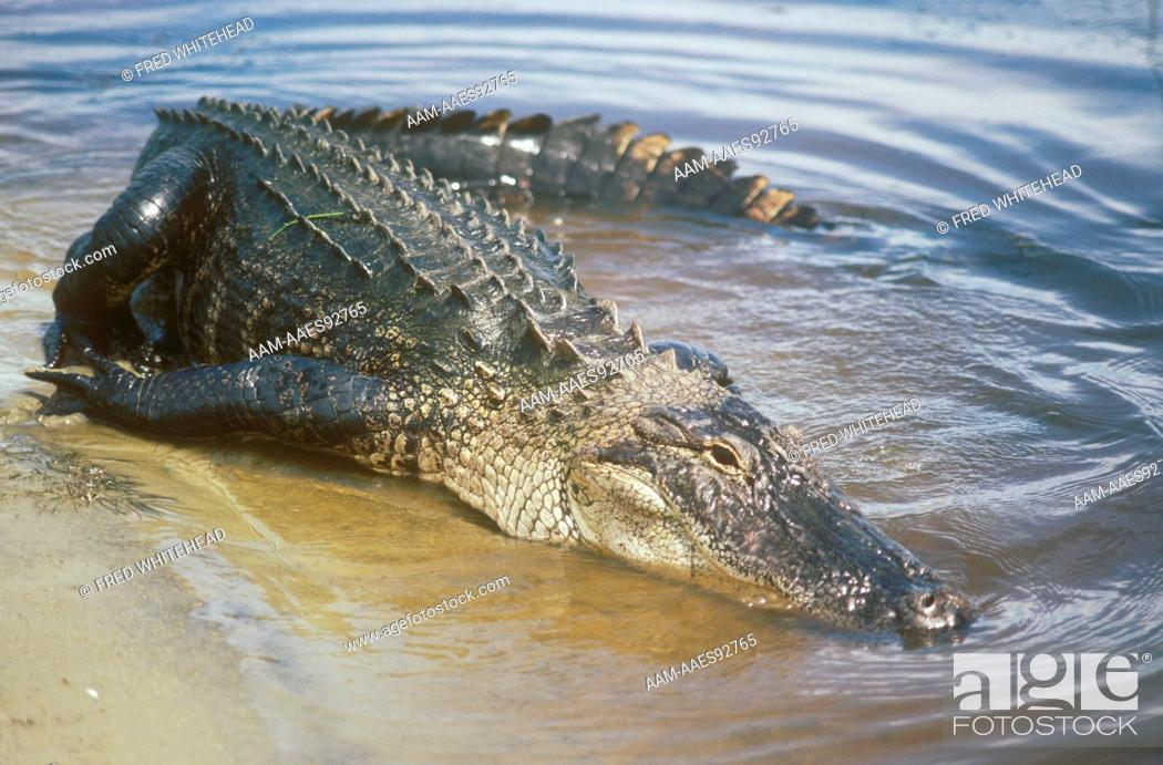 Stock Photo: American Alligator (Alligator mississippiensis) Georgia.
