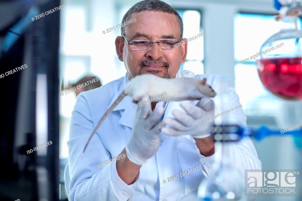 Stock Photo: Laboratory worker holding white rat.