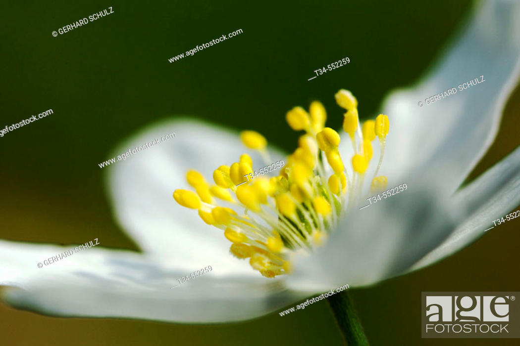 Stock Photo: Wood Anemone (Anemone nemorosa). Schleswig-Holstein, Germany.