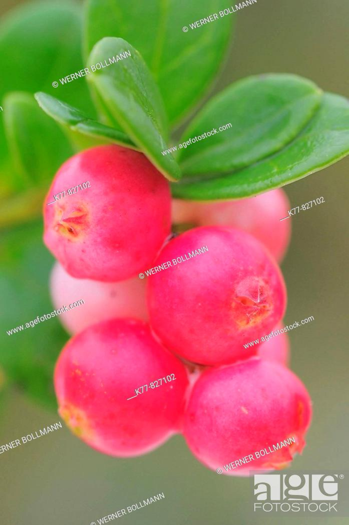 Stock Photo: Cowberry/Foxberry (Vaccinium vitis-idaea), fruits. Niederhorn, Switzerland.
