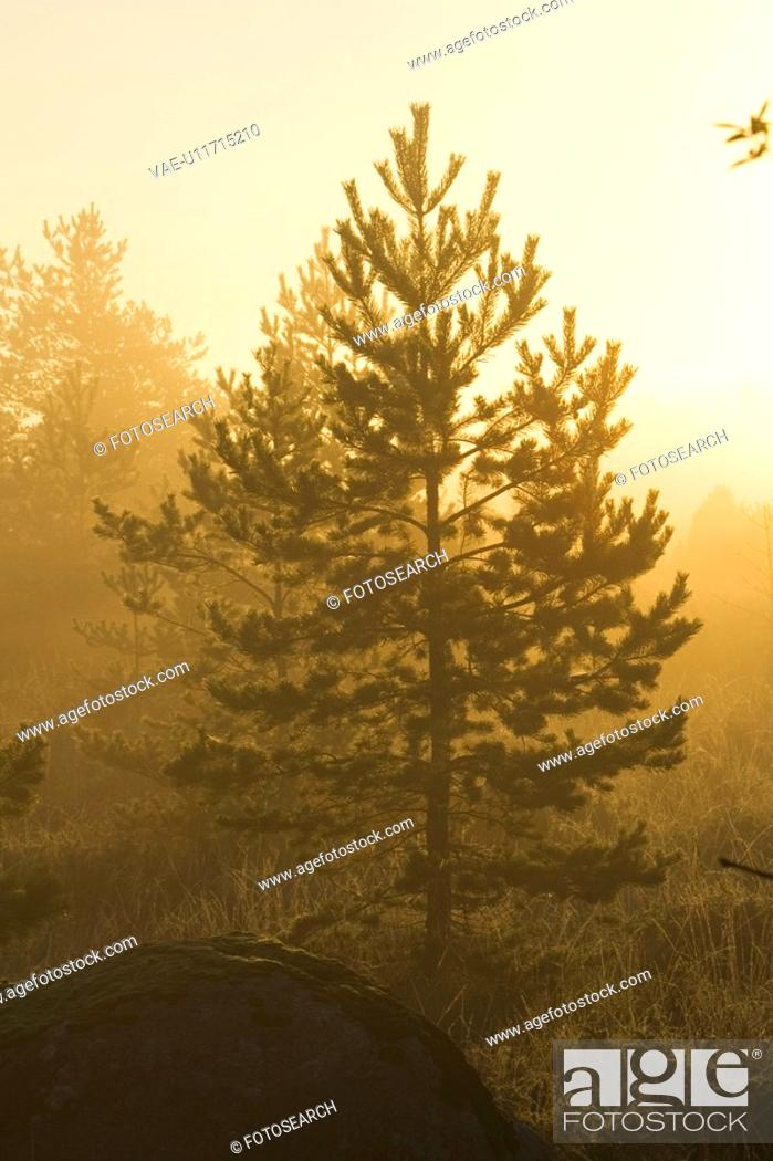 Stock Photo: Coniferous Tree, Dusk, Evergreen Tree, Forest, Glow.