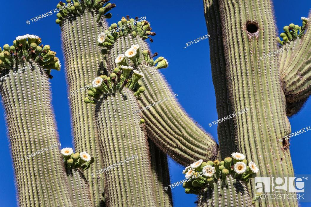 Imagen: Cactus blossoms on the trunks of the Saguaro cactus in Saguaro National Park near Tucson, Arizona, USA.