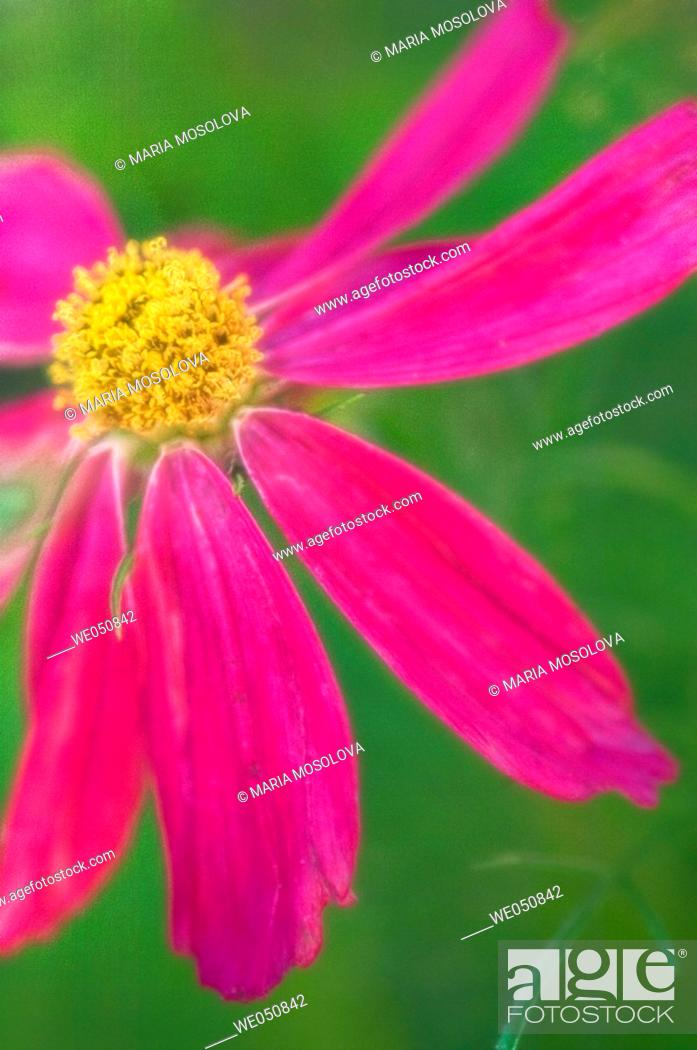 Stock Photo: Mexican Aster. Cosmos bipinnatus. June 2006. Maryland, USA.