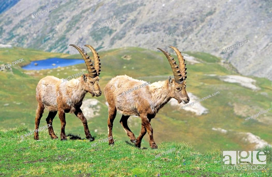 Imagen: Alpine Ibex Capra ibex two bulls in spring  The long winter in the high mountains etiolated and weakened the animals  The changing of the coats gives them an.