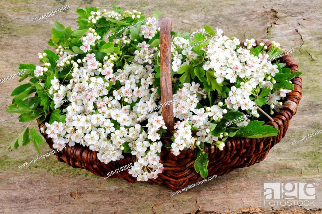 Stock Photo: Common Common hawthorn (Crataegus monogyna), Basket.