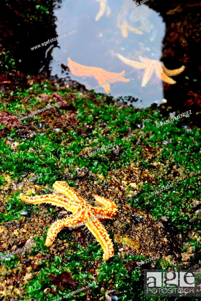 Imagen: Starfish (Echinoderma) between the rocks in Muxia, A Coruña, Spain.