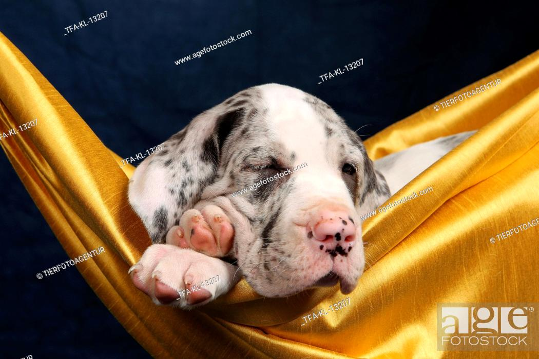 Stock Photo: Great Dane puppy.
