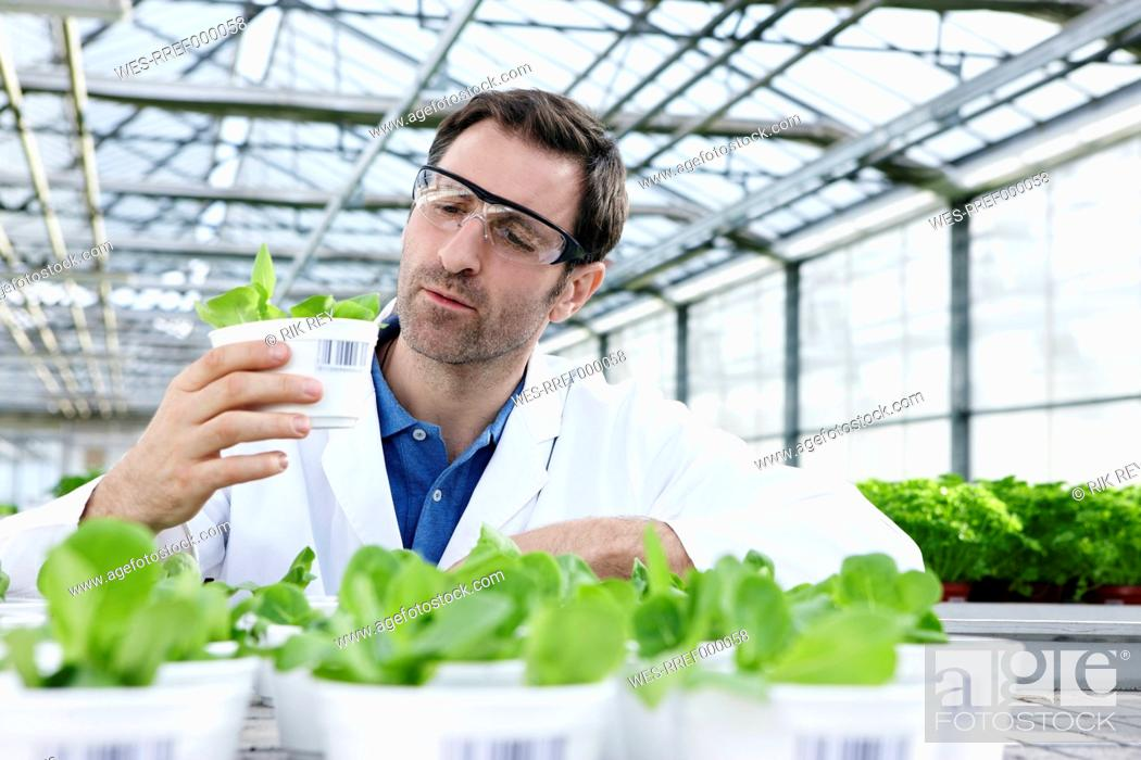 Stock Photo: Germany, Bavaria, Munich, Scientist in greenhouse examining corn salad plants.