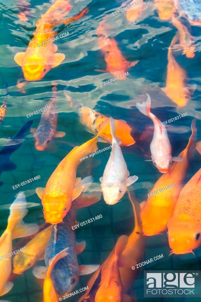 Stock Photo: beautiful koi fish swimming in the pond.