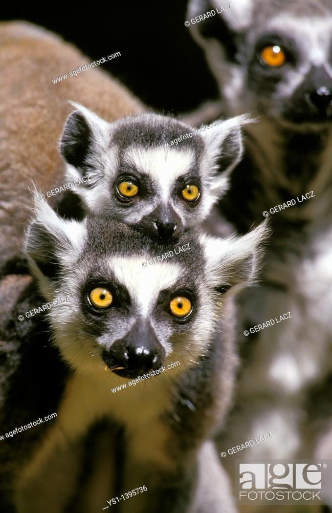 Stock Photo: Ring Tailed Lemur, lemur catta, Female carrying Baby.