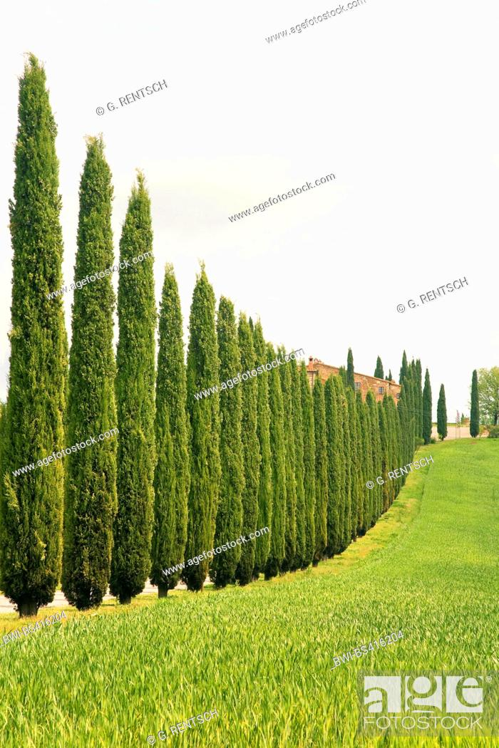 Stock Photo: Italian cypress (Cupressus sempervirens), cypress alley near Castiglione d¦Orcia, Italy, Tuscany.