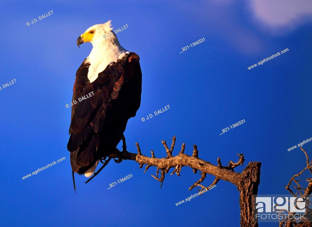 Stock Photo: African Fish Eagle, Chobe National Park, Botswana.