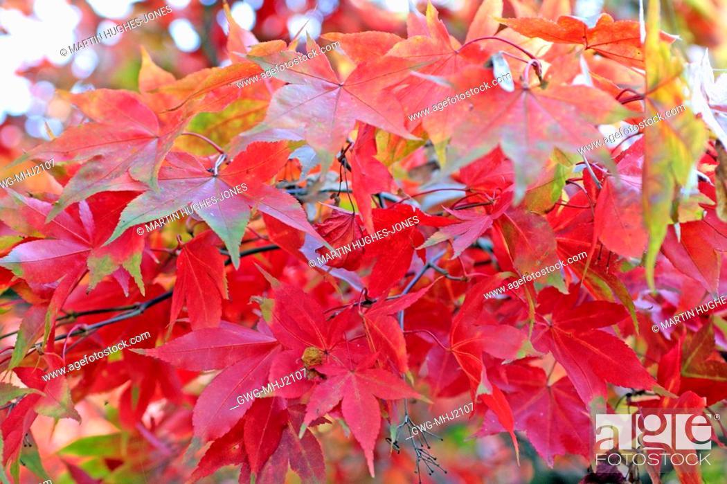 Acer Palmatum Osakazuki Agm Autumn Leaf Colour Stock Photo