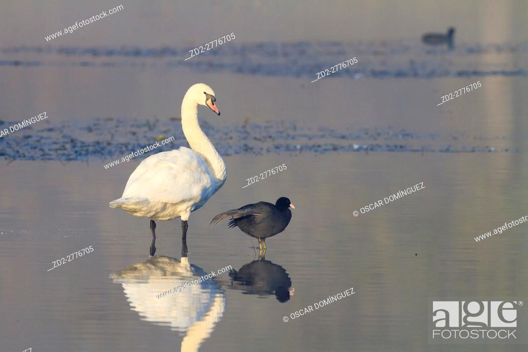 Stock Photo: Mute Swan (Cygnus olor) and Common Coot (Fulica atra) standing on water. Lower Silesia. Poland.
