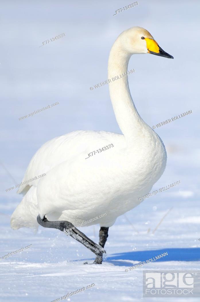 Stock Photo: Whooper Swan (Cygnus cygnus), Lake Tysslingen, Sweden.