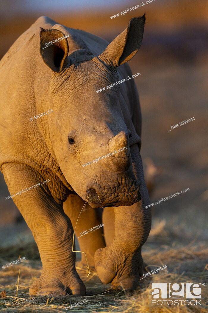 Photo de stock: Africa, Namibia, Private reserve, White rhinoceros or square-lipped rhinoceros (Ceratotherium simum) , young, captive.