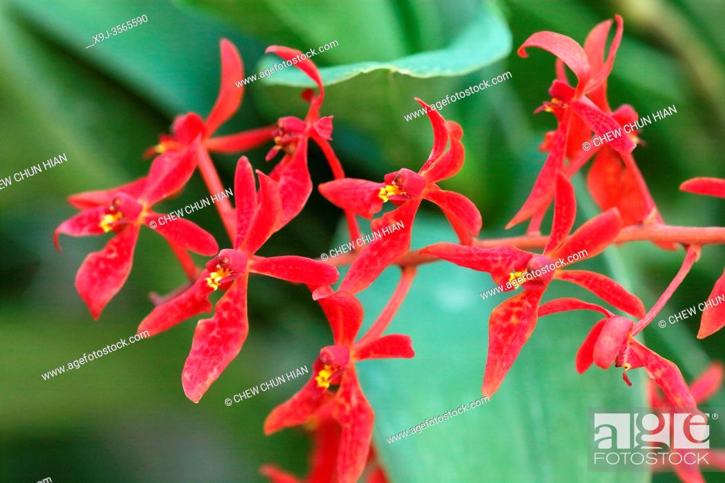 Stock Photo: Orchid Flower in the garden, Renanthera imschootiana, asia.