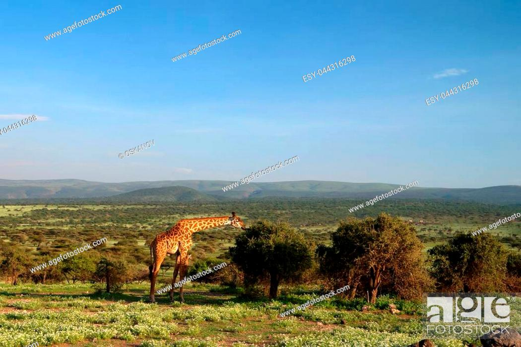Stock Photo: Landscape with Masai Giraffe or Giraffa camelopardalis tippelskirchii eating leaves in savannah.