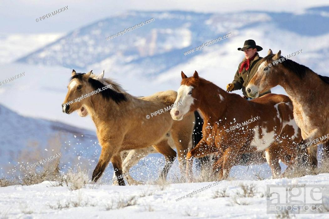 Stock Photo: Cowboy herding horses in winter, Shell, Wyoming, Usa.