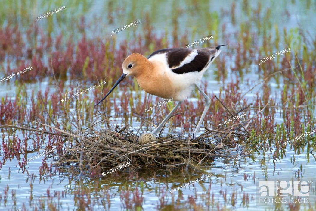 Stock Photo: American Avocet Recurvirostra americana adult tending an egg on its nest at the edge of Reed Lake in Morse, Saskatchewan, Canada.