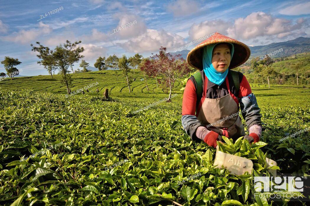 Stock Photo: Woman picking tea at Malabar Tea Estate. Indonesia, Java, Jawa Barat, Bandung, Malabar Tea Estate. (/Julien Garcia).