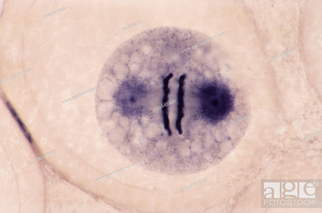 Stock Photo: Mitosis in Ascaris megalocephala (2 n = 4), Anaphase, the chromosomes abruptly separate and move towards the spindle poles (1000 X). (4 de 8).