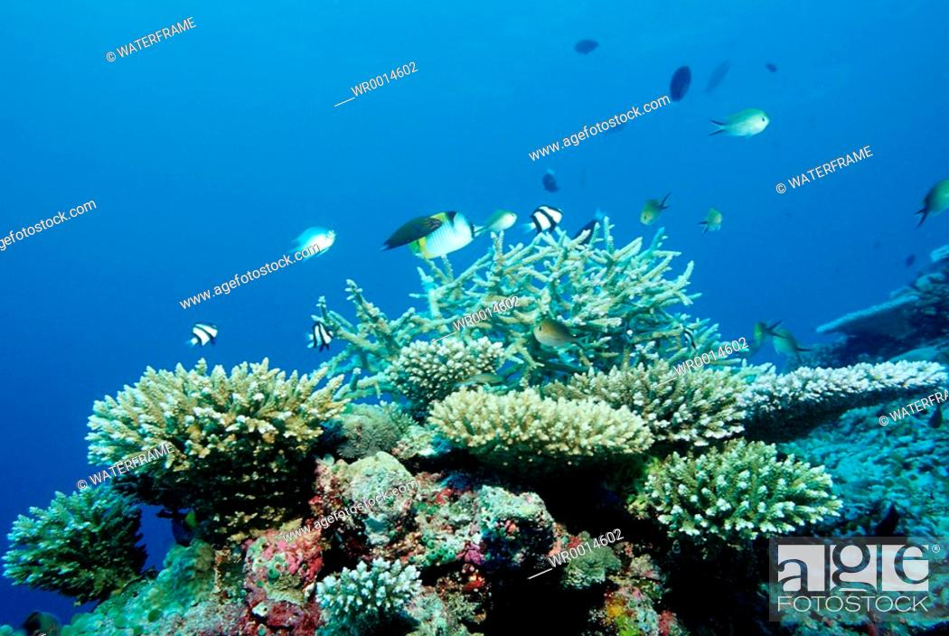 Imagen: Coral Reef with Branching Corals, Acropora, Indian Ocean, Maldives.