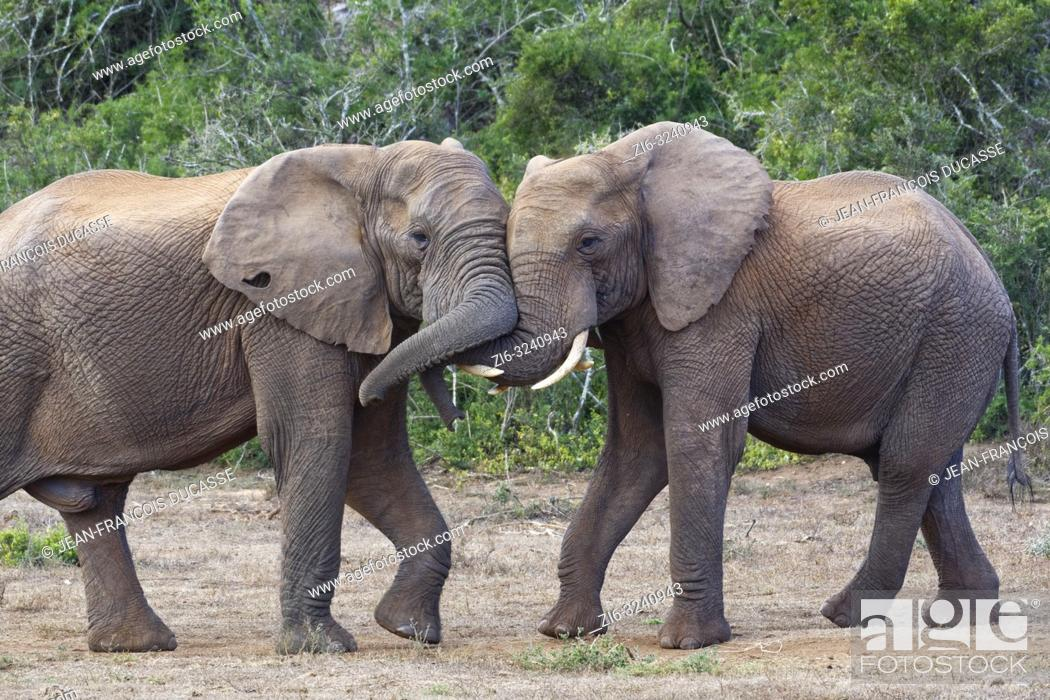 Stock Photo: African bush elephants (Loxodonta africana), two adult males playing fight, face to face, Addo Elephant National Park, Eastern Cape, South Africa, Africa.