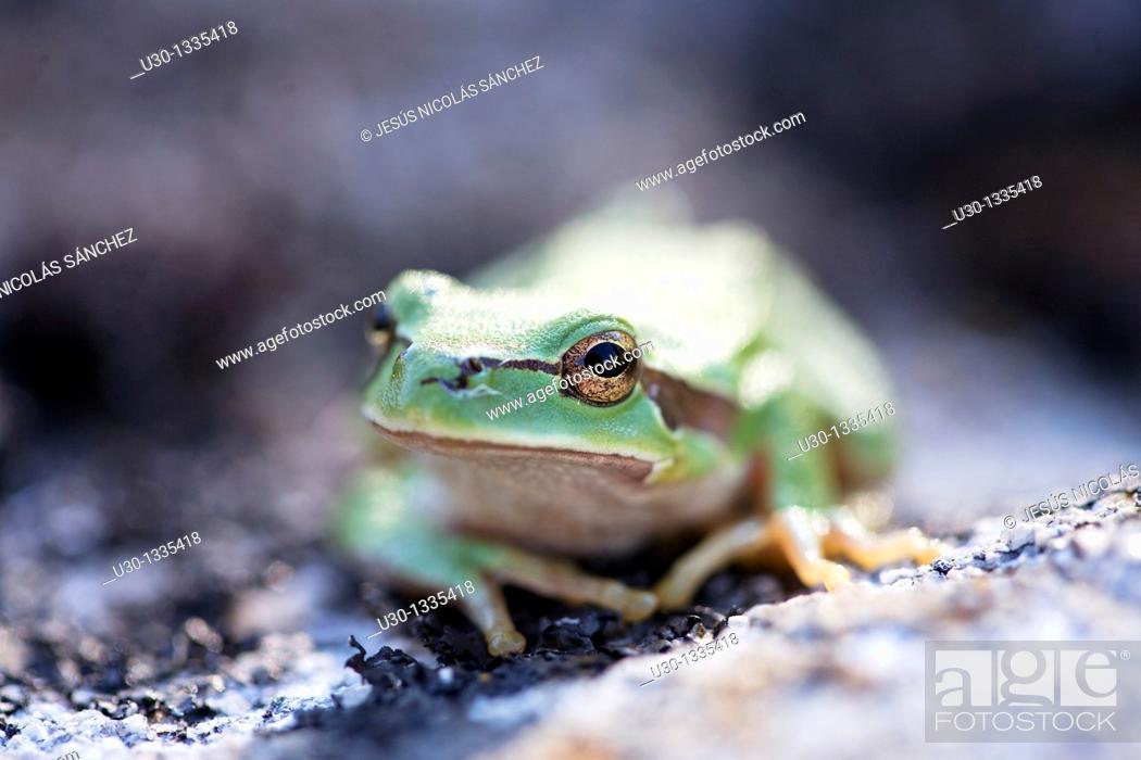 Stock Photo: Common Tree Frog Hyla arborea, in the Sierra de Francia, Biosphere Reserve of Sierra de Béjar and Francia, San Martín del Castañar, Salamanca province.