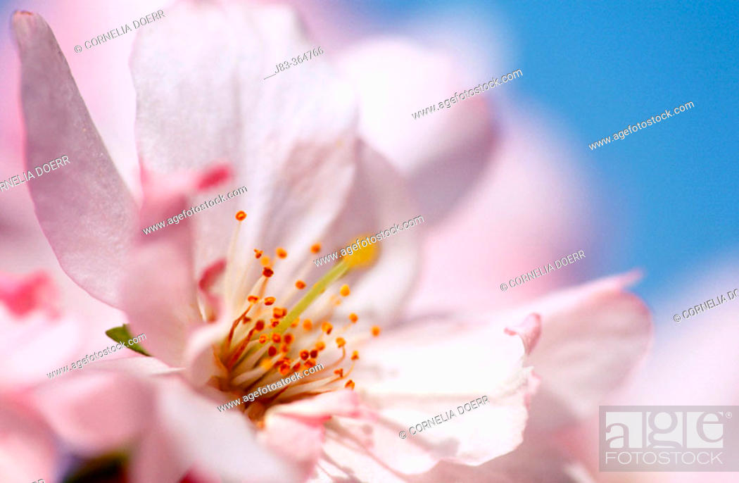 Stock Photo: Cherry tree blossom.
